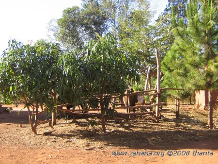 mango trees in the village of Fiarenana in Madagascar