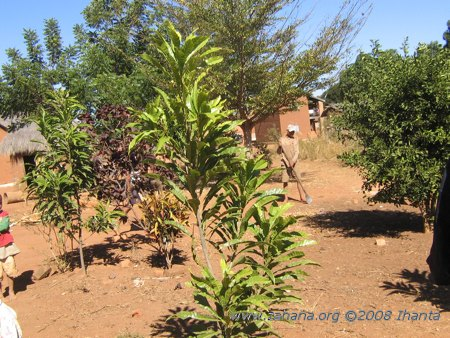 Trees in the village of Fiarenana in Madagascar