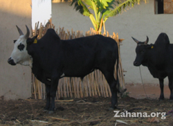 Zebu cattle in Madagascat