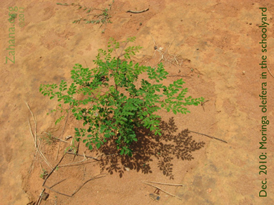 Moringa oleifera growing strong in Zahana's villages