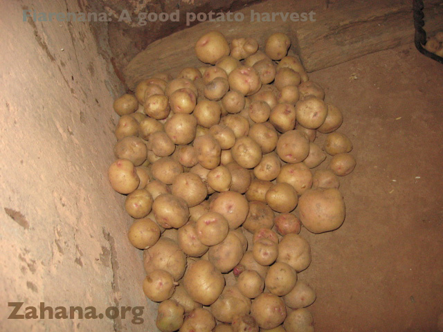 Potatoes grwon in a Madagascar village