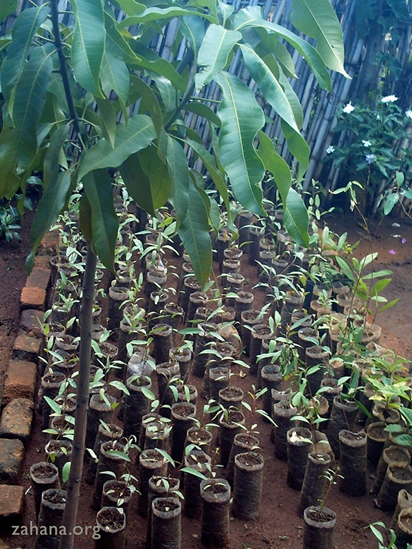 seedlings grown by Zahana's gardeners in Madagascar