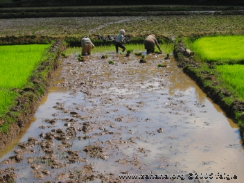 Planting rice in Madagascar