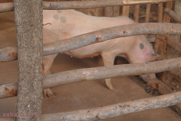 Pig in a pen in Madagascar